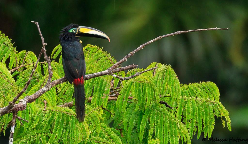 Many-banded Aracari (Pteroglossus pluricinctus) - Yasuni, EC