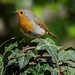 a Robin posing for me by Franck Zumella