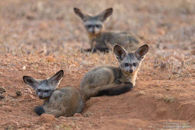 Bat-eared Foxes - Otocyon megalotis