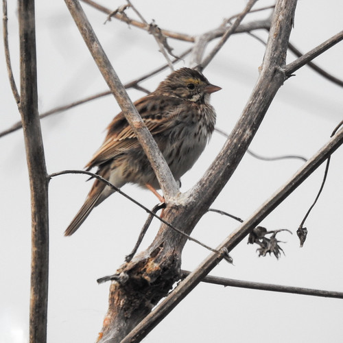 usa us unitedstatesofamerica state texas southtexas nature wildlife avian bird small sparrowsp perched tree branch sideview unidentified
