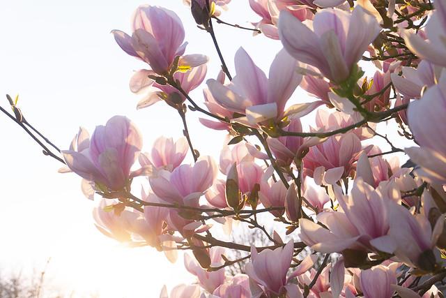 abendsonne in den magnolien