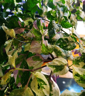 1 scarletts chilli variegated   by Mr. Smet