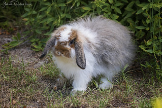 American Fuzzy Lop | by Gabriel Paladino Photography