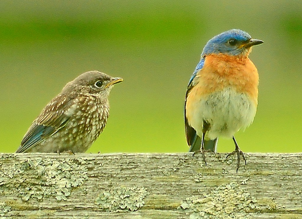Eastern Bluebird and young