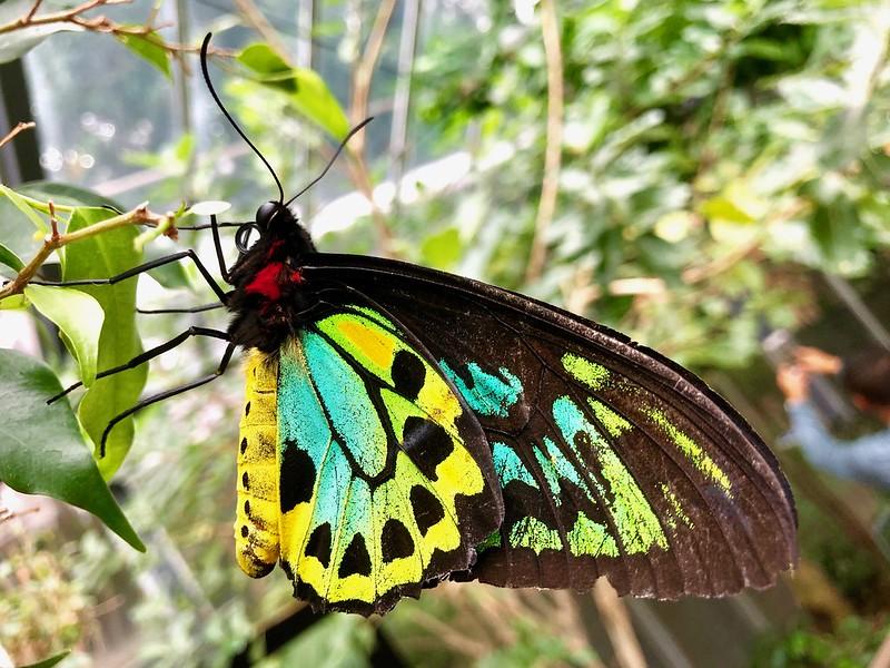 Cairns Birdwing (Ornithoptera euphorion); Melbourne Zoo Butterfly House, Victoria, Australia.