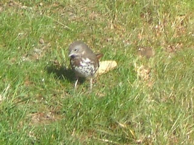 DSCF3181...fox sparrow