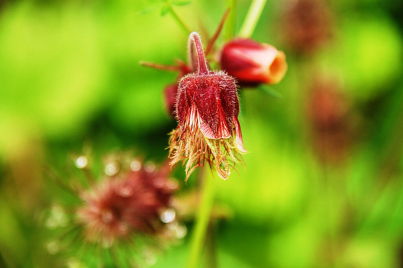 Prairie smoke(Old man's Whiskers) 3