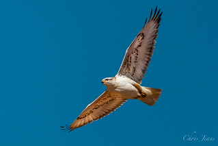 West Texas Ferruginous Hawk | by ChrisGJeans