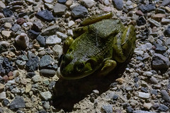 Bullfrog - Palisade, Colorado