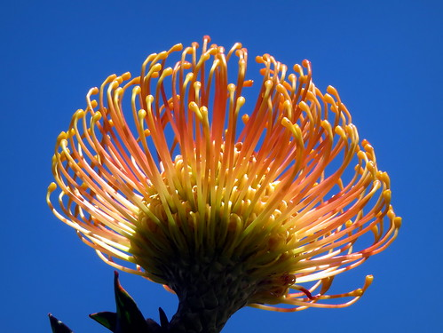 Protea | by __ PeterCH51 __