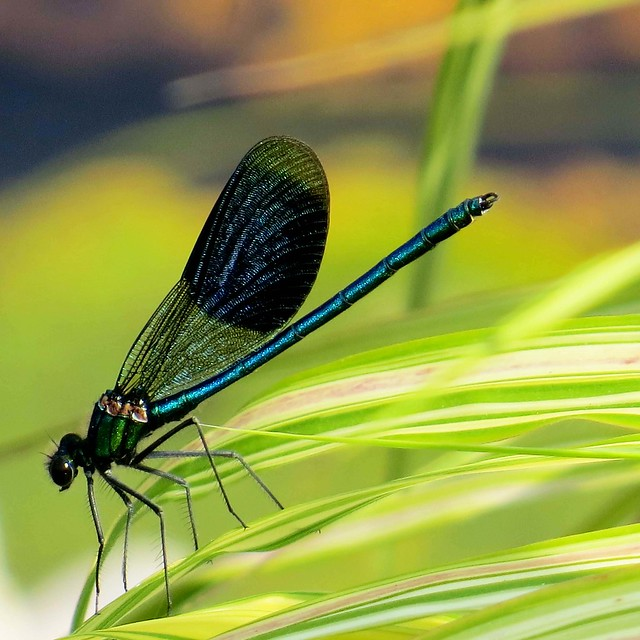 RHS Wisley - Jun 2017 (045) Banded Demoiselle (Male)