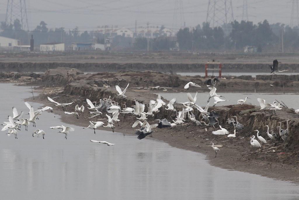 福建省興化灣江鏡農場的黑面琵鷺。攝影:陳瑩/福建農林大學,香港觀鳥會提供