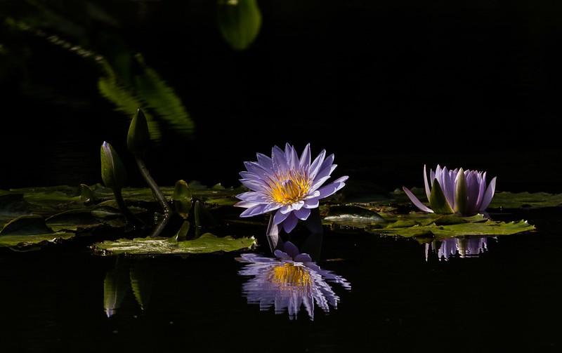 Обои вода, отражение, сиреневая, нимфея картинки на рабочий стол, раздел цветы - скачать