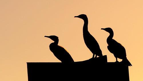 cormorant sunset ballet animal bird lagoon knysna knysnalagoon gardenroute westerncape southafrica za silhouette backlight peterch51 ballett minimals minimalistisch minimalism