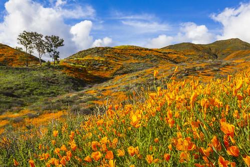 perris california unitedstatesofamerica us poppy poppies californiapoppy wildflowers blooms flowers lakeelsinore walkercanyon