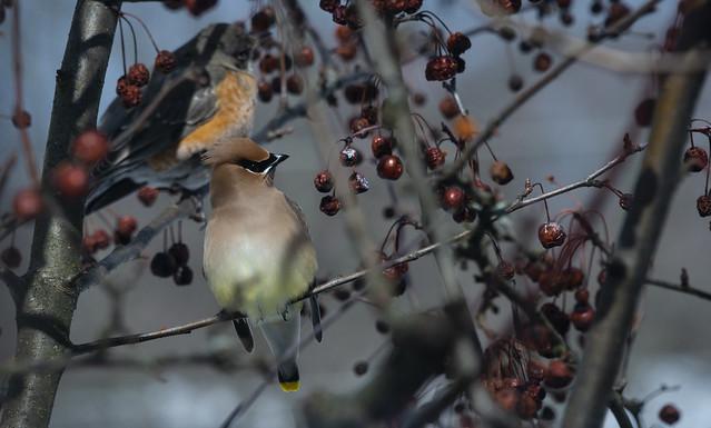 Cedar waxwing and robin