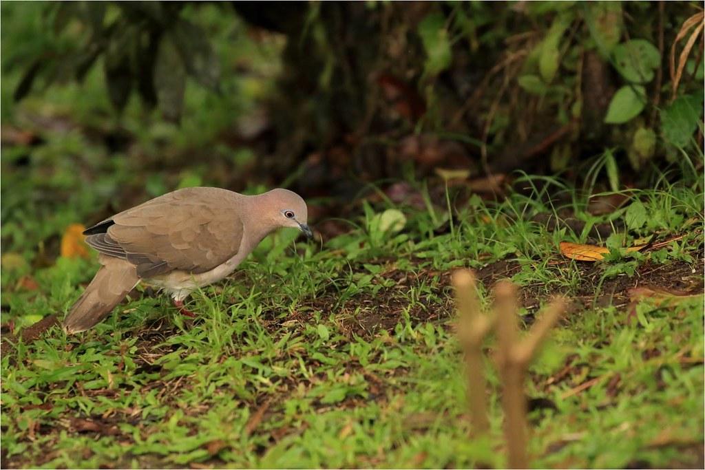Colombe de verreaux, Qhite-tipped Dove