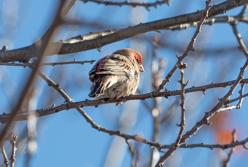 House Finch | by Laura Erickson
