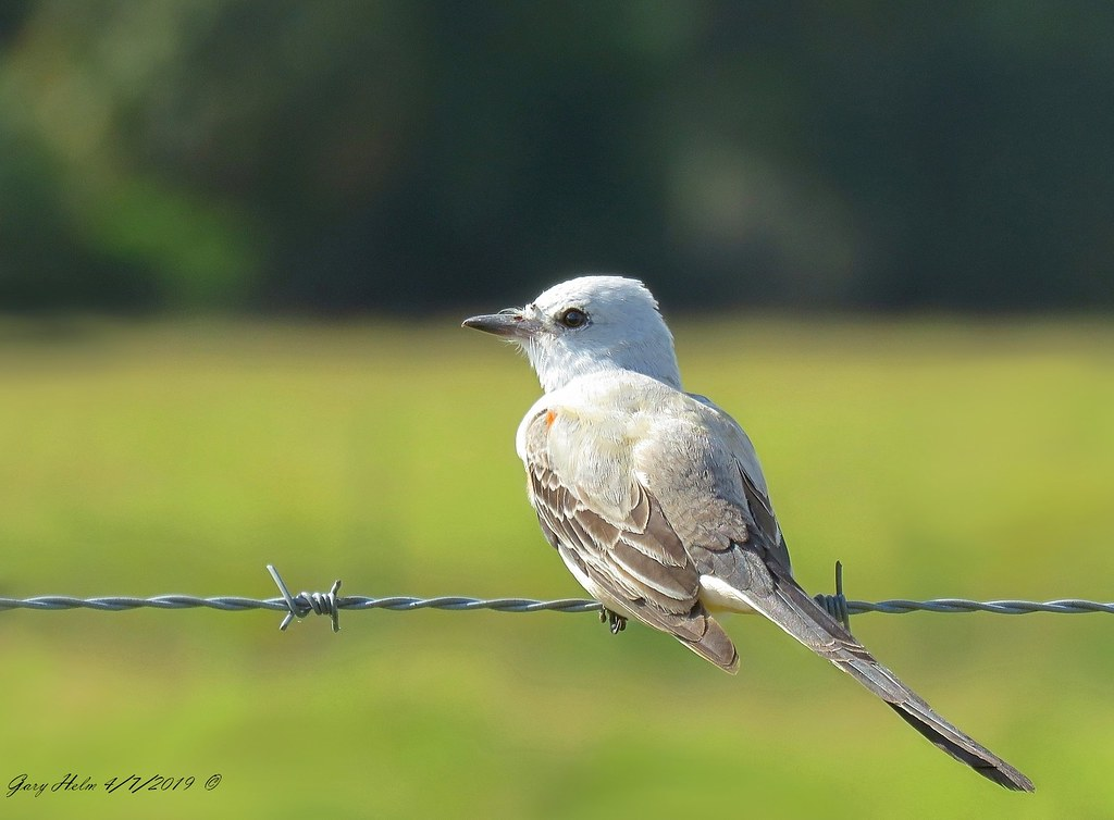 Oklahoma State Bird Scissor Tailed Flycatcher Scissor Tail Flickr