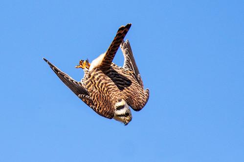 outdoor nature wildlife 7dm2 canon florida bird ftdesoto ft bif flight diving ef100400mm