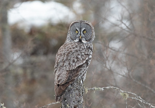 Great Gray Owl | by Laura Erickson