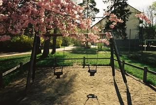 Japanskt körsbärsträd vid lekplats