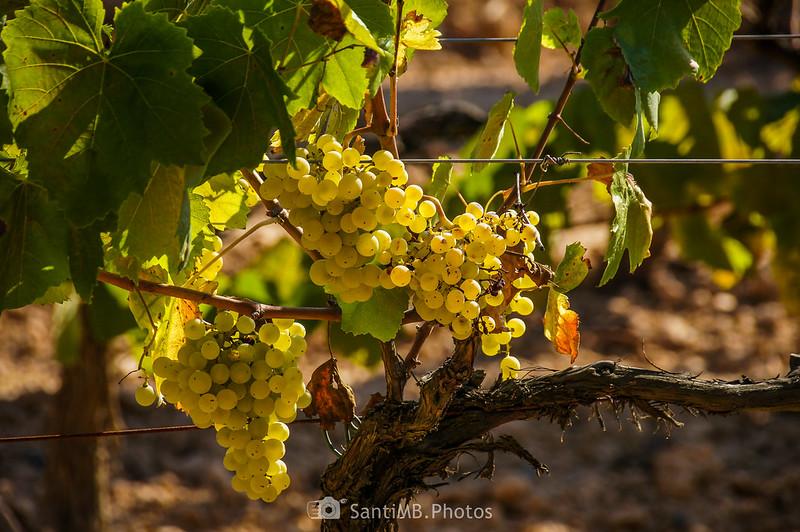 Uva en un viñedo de la Roqueta