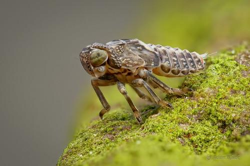 Larve der Echten Käferzikade (Issus cf. coleoptratus) Größe ca. 3 mm | by AchimOWL