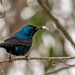 Purple Sunbird (Cinnyris asiaticus) with prey