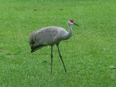 Sandhill Crane, Crandon Park, Miami Dade, Florida 3/15/2015