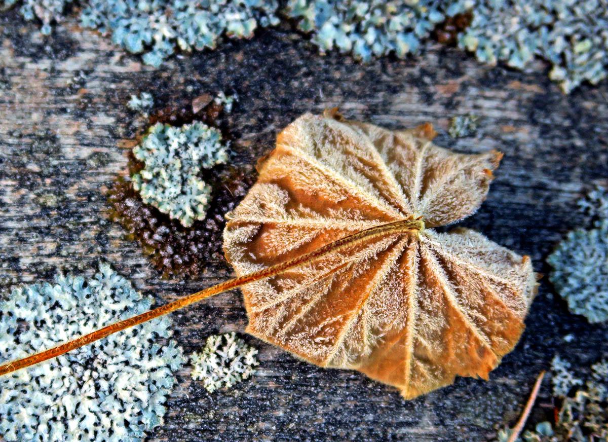 HousingITguy,Project365,2nd 365,HotpixUK365,Tone Smith,GoTonySmith,365,2365,one a day,Tony Smith,Hotpix,leaf,leaves,frost,winter,ice,plant,plants,trees