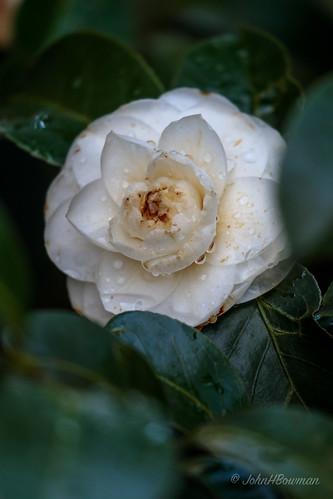 virginia chesterfieldcounty home flowersandplants camellias raindrops winter handheld february2019 february 2019 canon1004004556l2