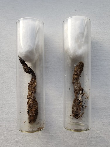 two glass vials, plugged with cotton. inside each is a silken sock with a purseweb spider inside