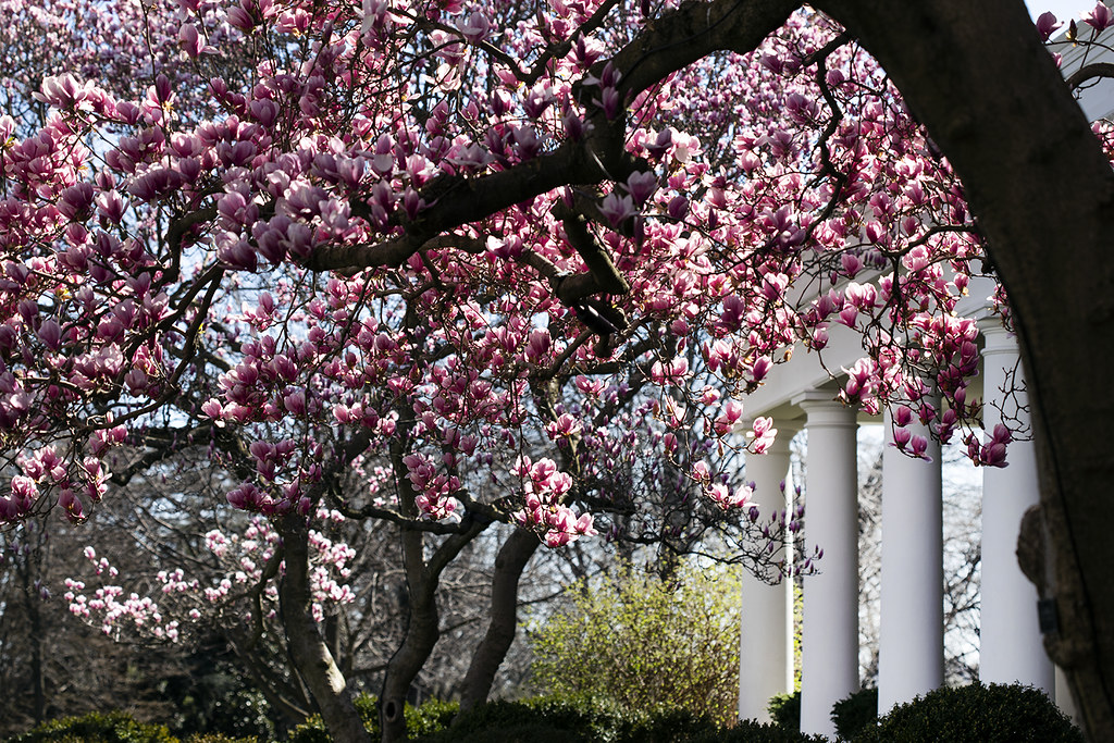 White House Grounds In Spring Magnolia Trees Are Seen In B Flickr