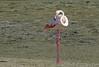 Greater Flamingo (Phoenicopterus roseus) by Francisco Piedrahita