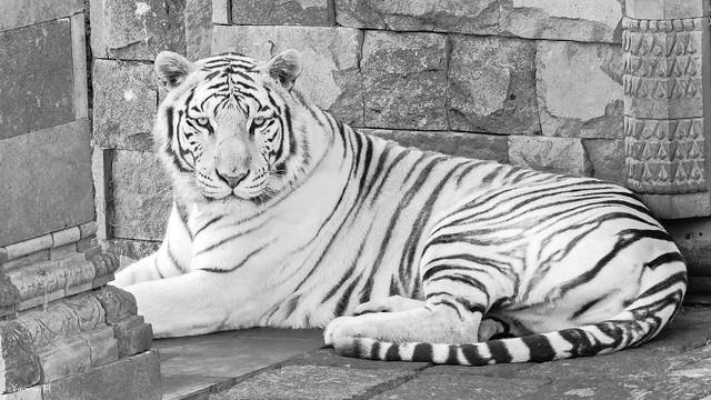 Tiger - 6652