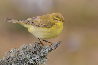 Willow warbler | by kulukaya