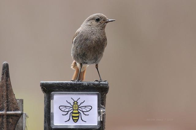 9P1A2363a Black Redstart ( Phoenicurus ochruros) and the Manchester Bee