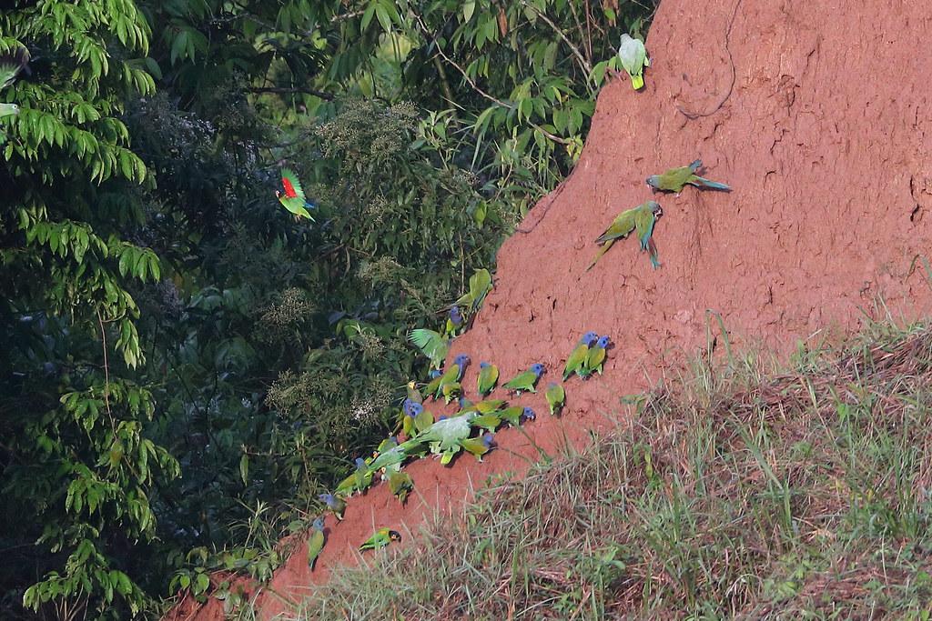 Blue-headed Macaws