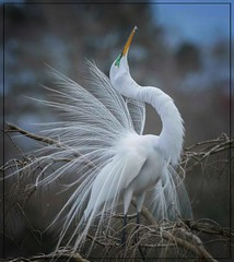 Fully displayed for mate...Great Egret