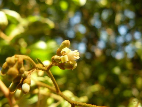 mundara muthigitha luburiko lusarari mnyorokianjoro pionyet laburiko ilagas meliaceae mount kenya flower inlforescence