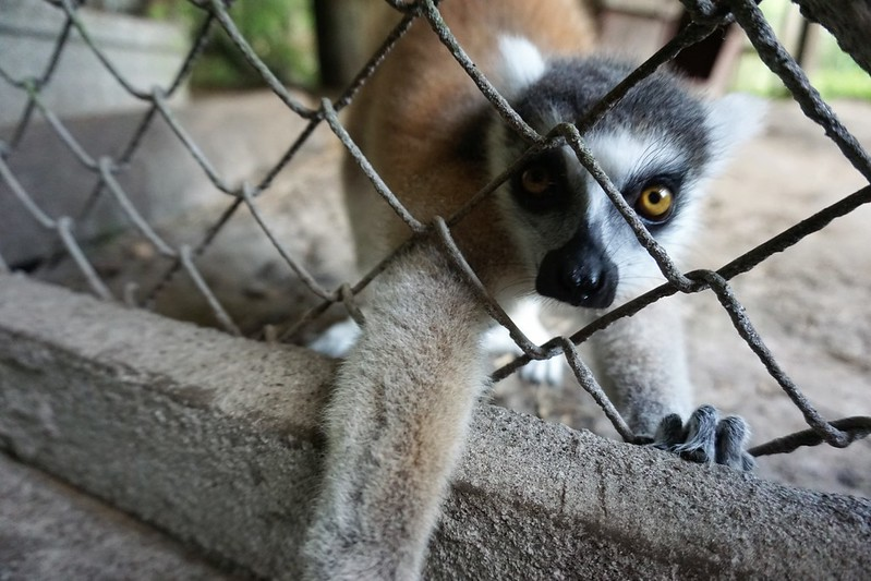 Igor, the Ring-Tailed Lemur - Lions, Tigers & Bears Inc., Arcadia, Fla., April 14, 2019