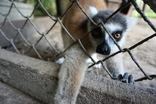 Igor, the Ring-Tailed Lemur - Lions, Tigers & Bears Inc., Arcadia, Fla., April 14, 2019   by JenniferHuber