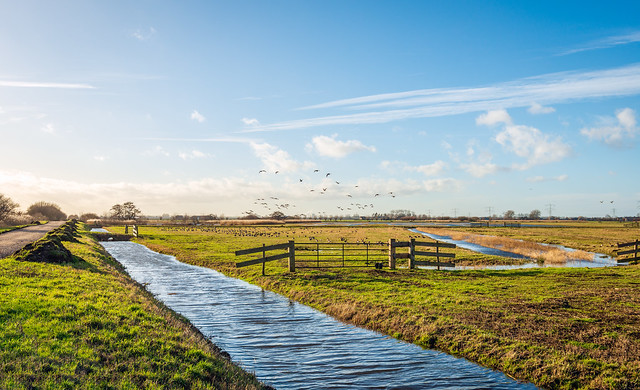Flying geese in a Dutch polder area