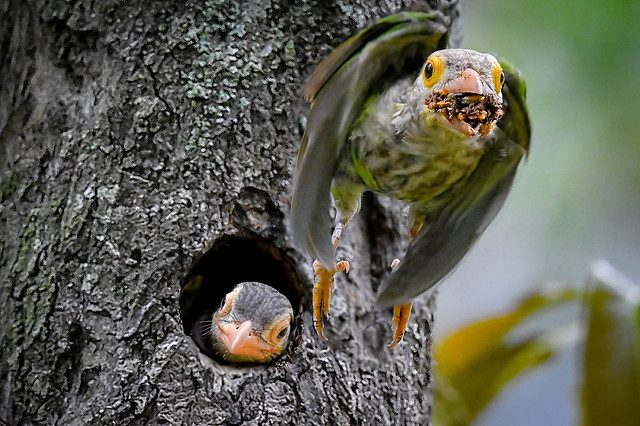 s 20190327_Lineated Barbet_DSC_0861