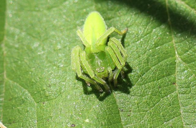 Micrommata virescens.