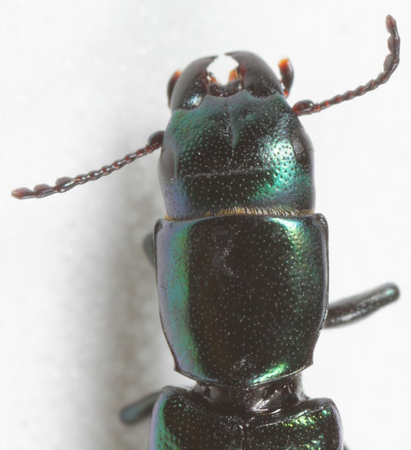 insect coleoptera beetle trogossitidae trogossitinae temnoscheila temnoscheilavirescens barkgnawingbeetle northcarolina piedmont canonmpe65mmf2815xmacrophoto inaturalist