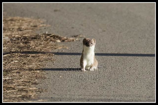 IMG_0038 Stoat (In Explore)
