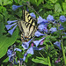 Tiger swallowtail in wild Virginia bluebells - new! by Vicki's Nature
