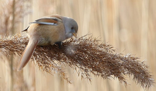 Bearded Reedling - Bearded Tit (Female) (Panurus biarmicus) (5)